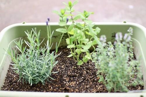 ハーブ 家庭 菜園