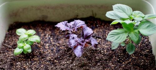 シソを植えたプランター