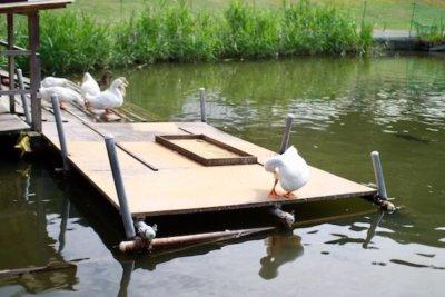 池のアヒル