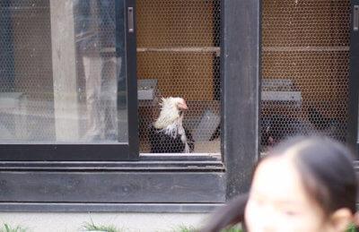 弥彦神社の鶏