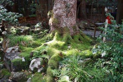 弥彦神社の苔