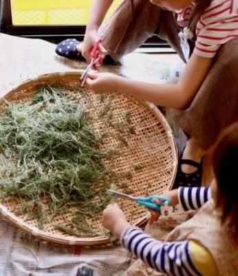 スギナをハサミでカットする子ども