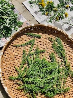 摘んできた野草スギナ